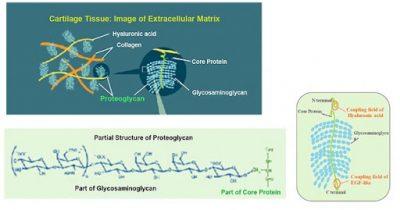 Glycosaminoglycans và Proteoglycan trong ECM